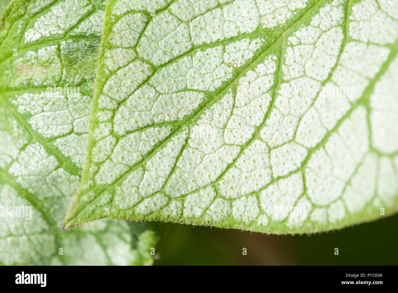 Lungwort (Pulmonaria): a close up on the patterning of leaves - Stock Image
