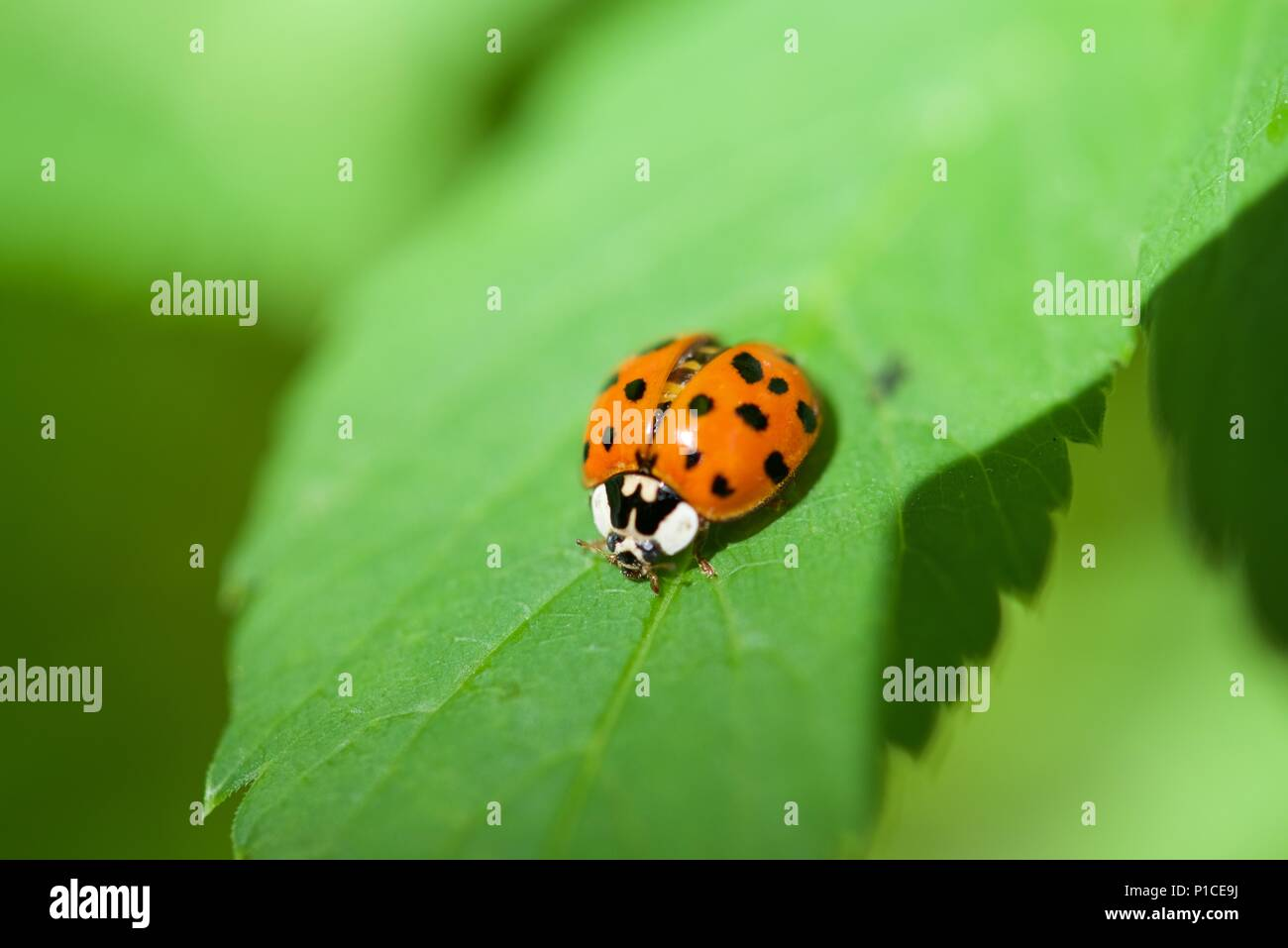 Ladybird (Coccinellidae): close up of a ladybird, or ladybug, on a leaf with serrated edges - Stock Image