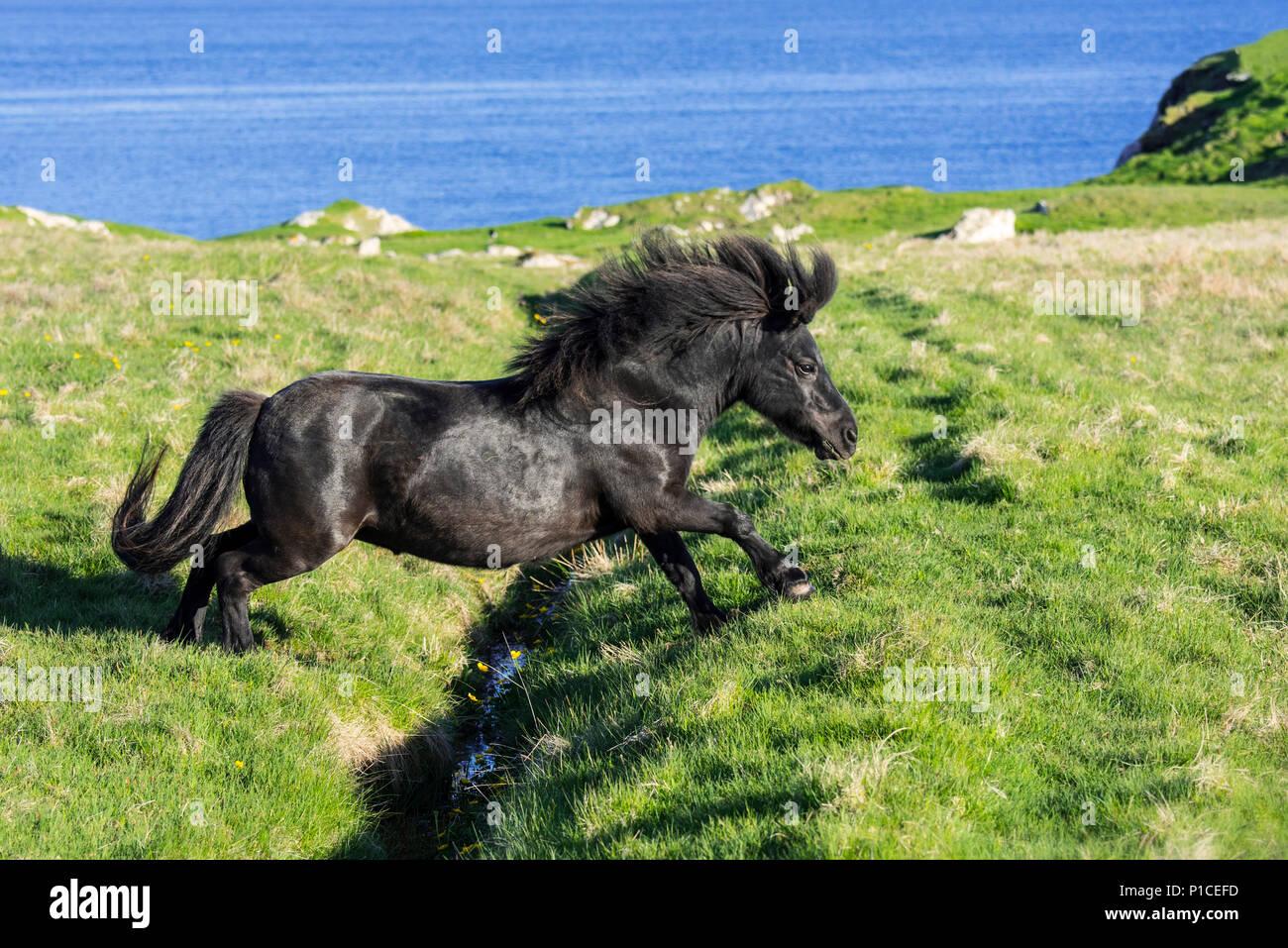 Black Shetland pony jumps over ditch in field along the coast on the Shetland Islands, Scotland, UK - Stock Image