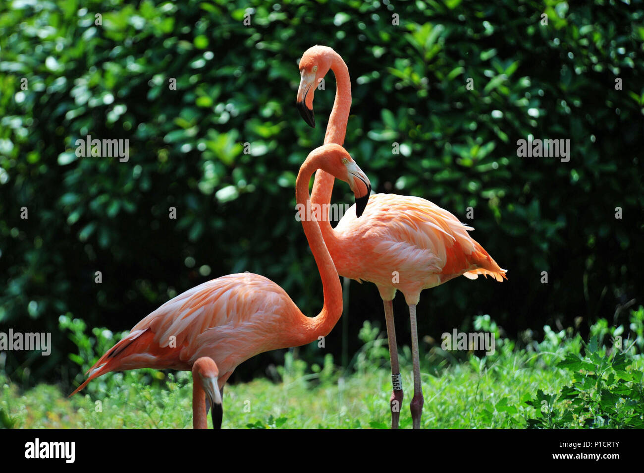Qingdao, Qingdao, China. 12th June, 2018. Qingdao, CHINA-Flamingos at Qingdao Forest Wildlife World in Qingdao, east China's Shandong Province. Credit: SIPA Asia/ZUMA Wire/Alamy Live News - Stock Image