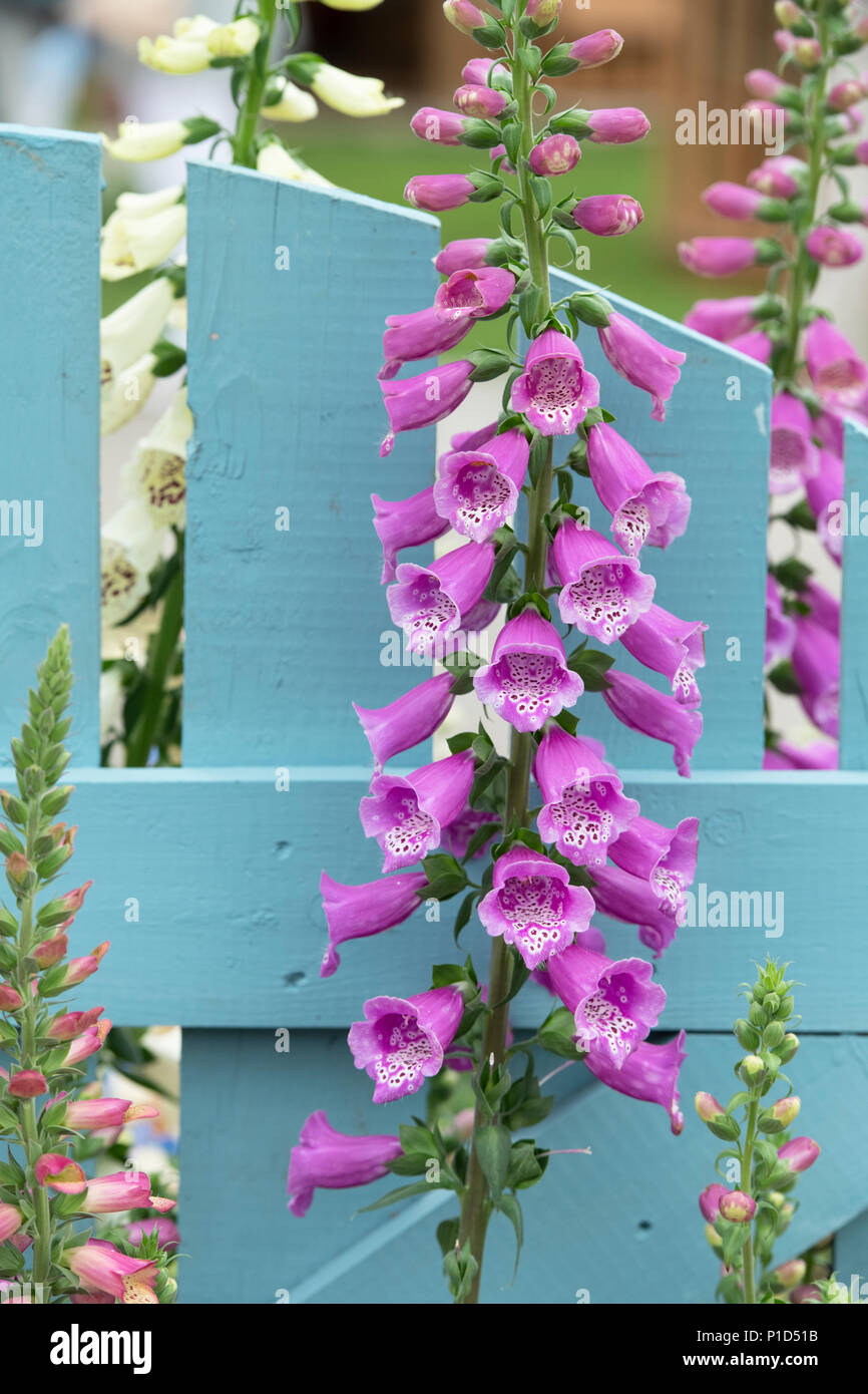 Digitalis purpurea 'Dalmatian Purple'. Foxglove 'Dalmatian Purple' on a display at a flower show. UK Stock Photo