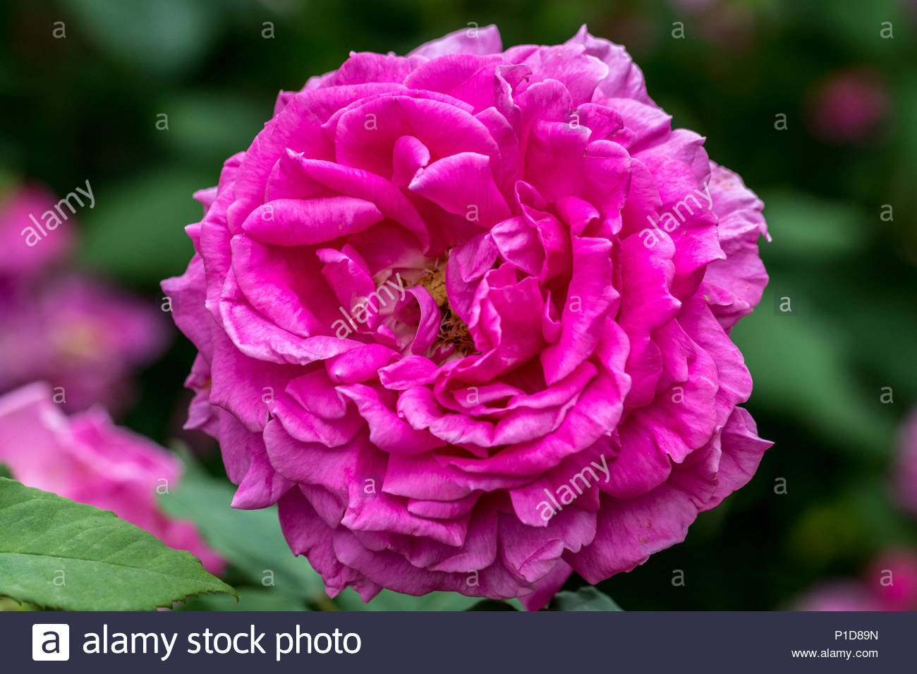 A very fragrant dark pink double rose Mme Isaac Pereire - Stock Image