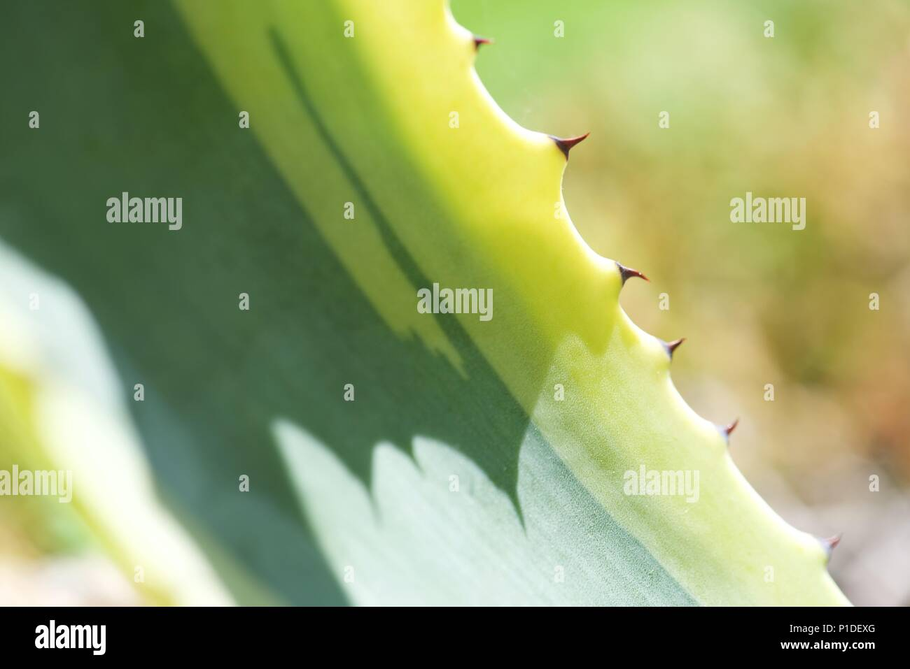 Agave americana variegata: a detail of one leaf of an Agave plant - Stock Image