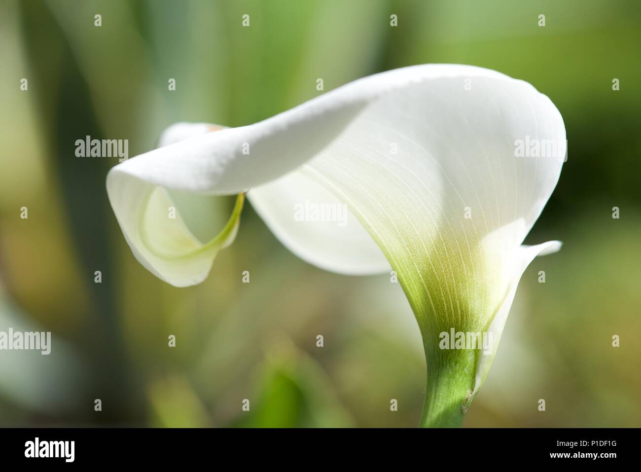 Arum Lily (Zantedeschia aethiopica): a close up of an Arum Lily flower - Stock Image