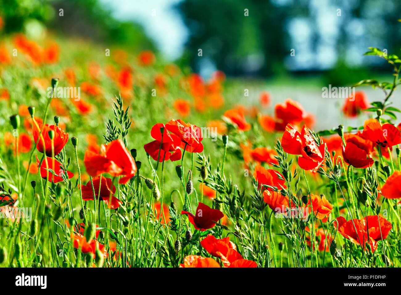 Opium Poppies Flowers Drugs Garden Heroin Stock Photos Opium