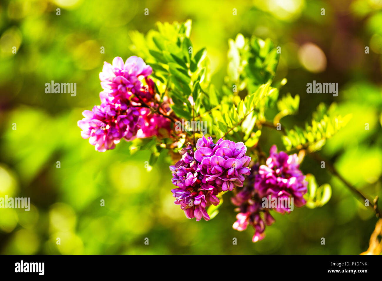 Purple Acacia Tree Blooming Background Pink Robinia Flowers Close