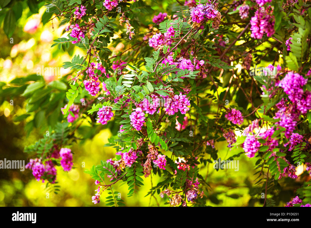 Purple acacia tree blooming background pink robinia flowers close purple acacia tree blooming background pink robinia flowers close up violet pseudoacacia blossoms mightylinksfo