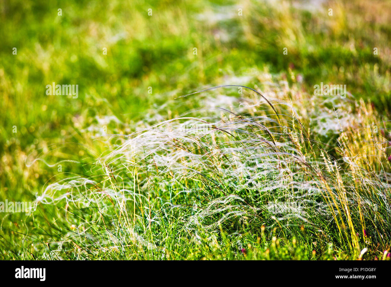 Spring landscape, field of feather grass. Mat grass on a hot summer sultry day - Stock Image
