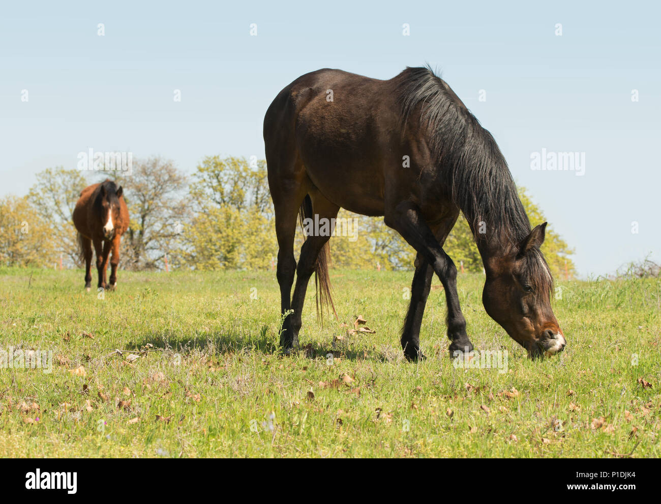 Dark bay horse grazing on a green spring pasture - Stock Image