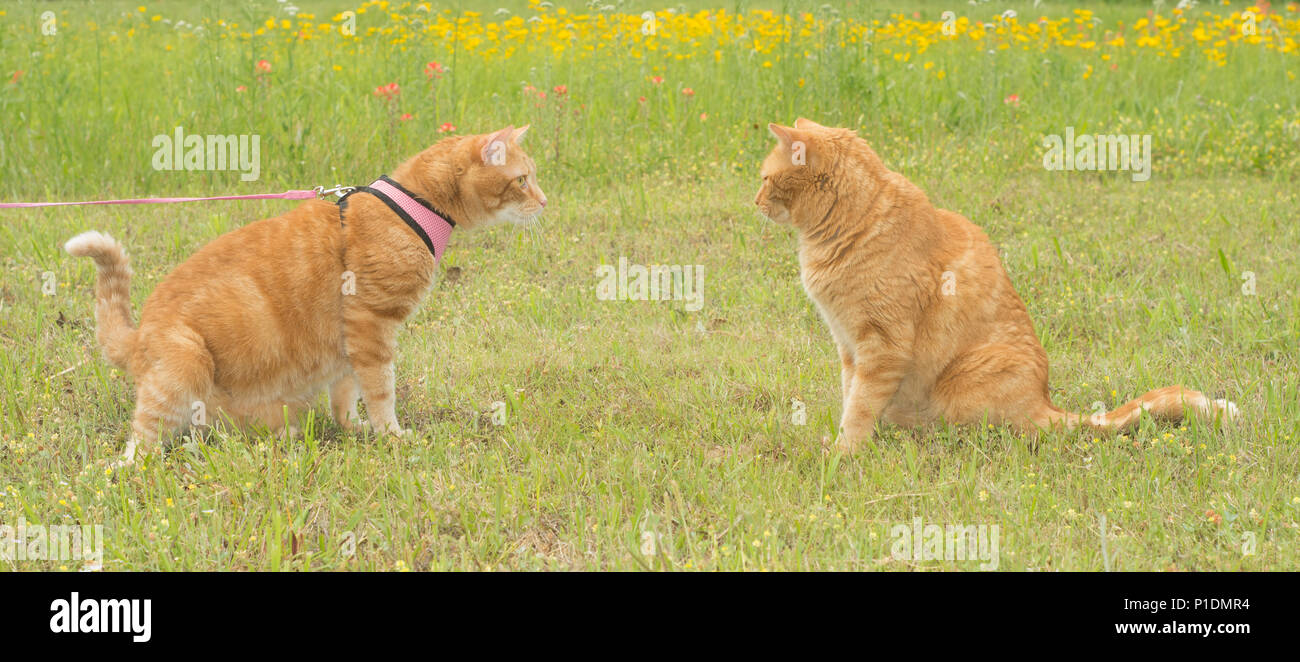 Two ginger tabby cats on a sunny spring meadow, one in harness and leash, the other free, curious about each other - Stock Image