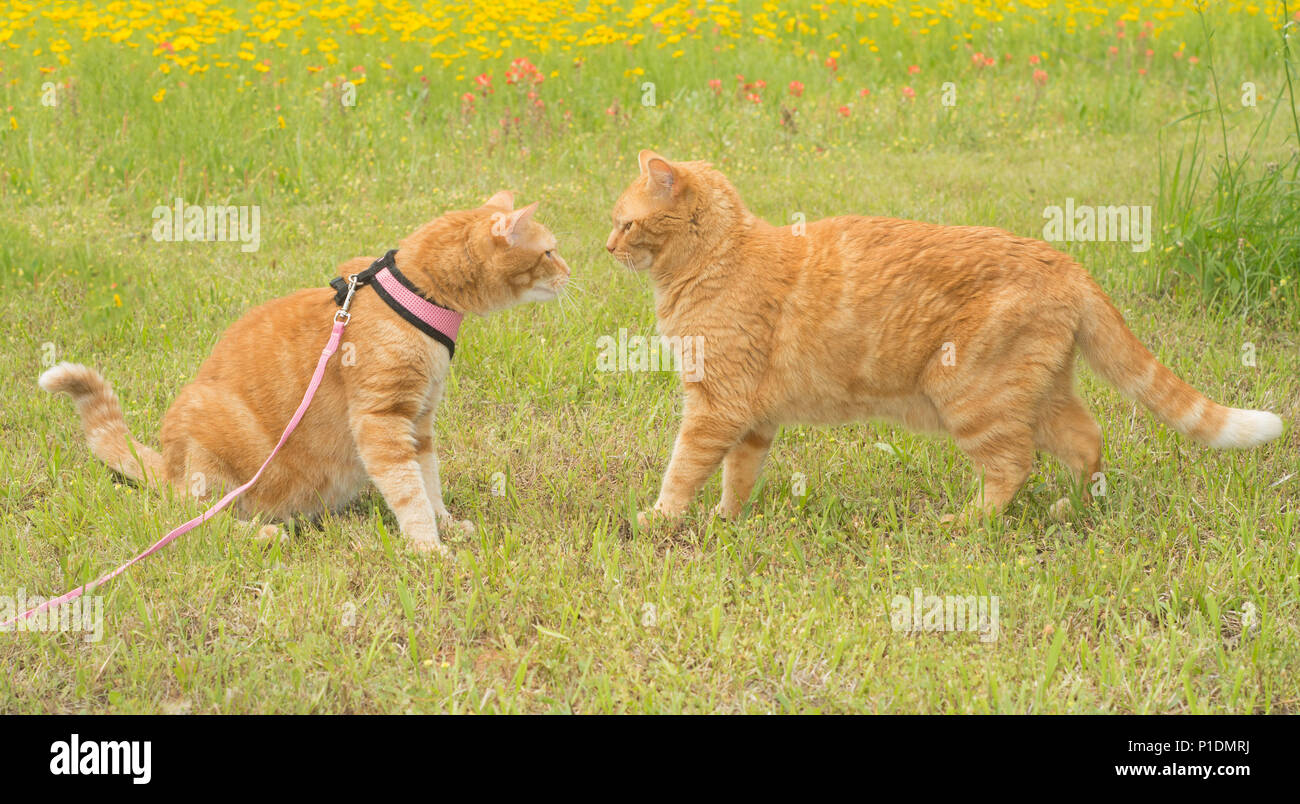 Two ginger tabbies nose to nose, one in harness, the other in a slightly threatening stance - Stock Image