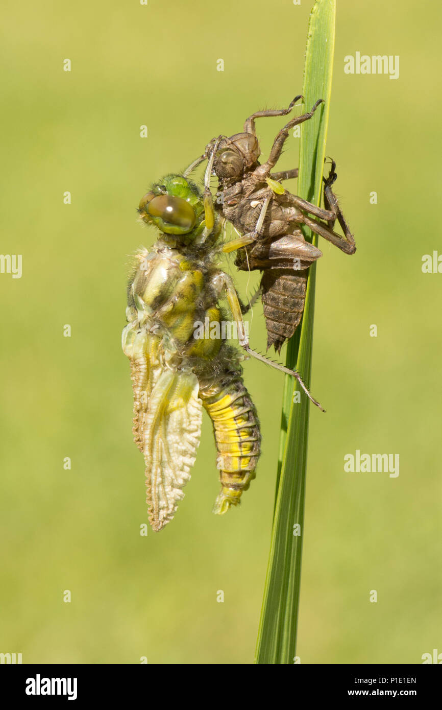 Adult Broad-bodied chaser dragonfly metamorphosis, emerging from larval case. complete sequence. exuvia, exoskeleton, Libellula depressa, May, UK. Stock Photo