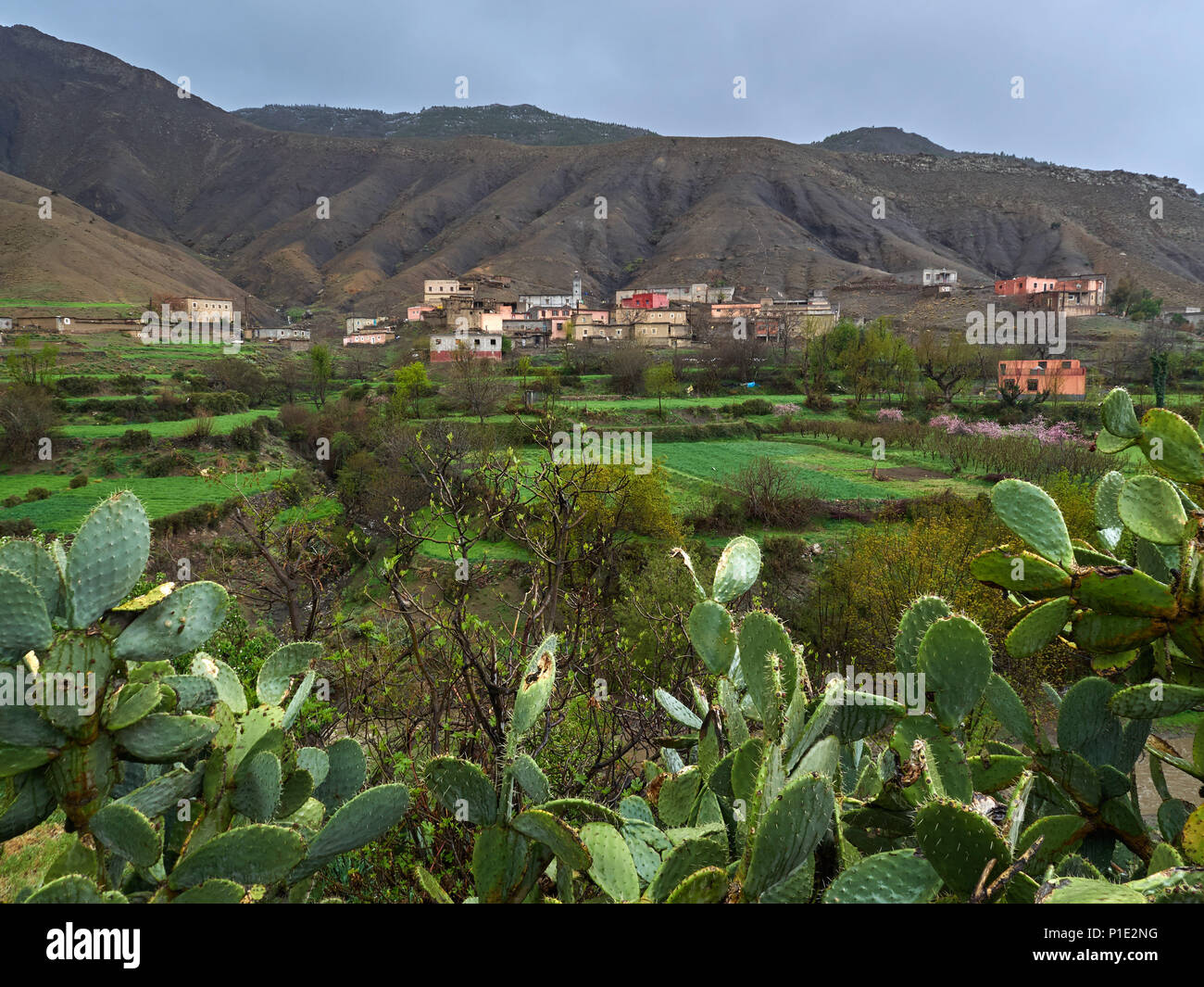 Berber village in the mountains high Atlas: small white houses among the hills, green fields, to the fore large cacti of the prickly pear, Morocco. - Stock Image