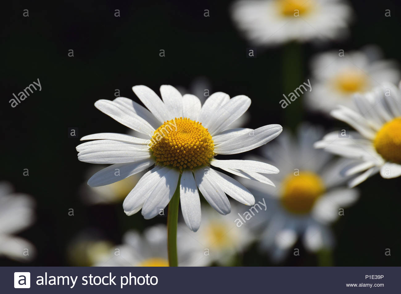 Chamomiles Flowers Field Daisies With White Leaves And A Yellow