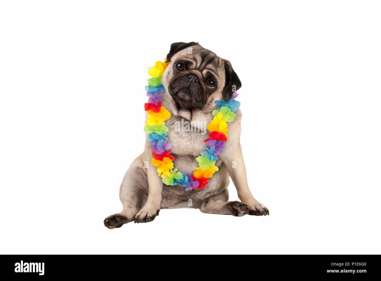 cute sweet pug puppy dog sitting down wearing hawaiian flower garland, isolated on white background Stock Photo