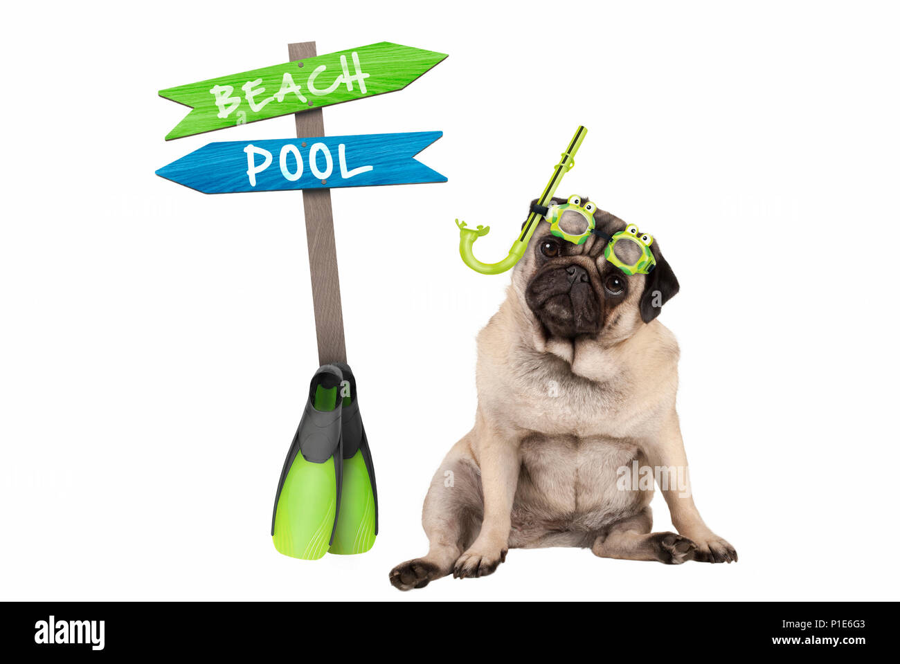 cute smart pug puppy dog sitting down wearing goggles and snorkel, next to signpost with text pool and beach, isolated on white background - Stock Image
