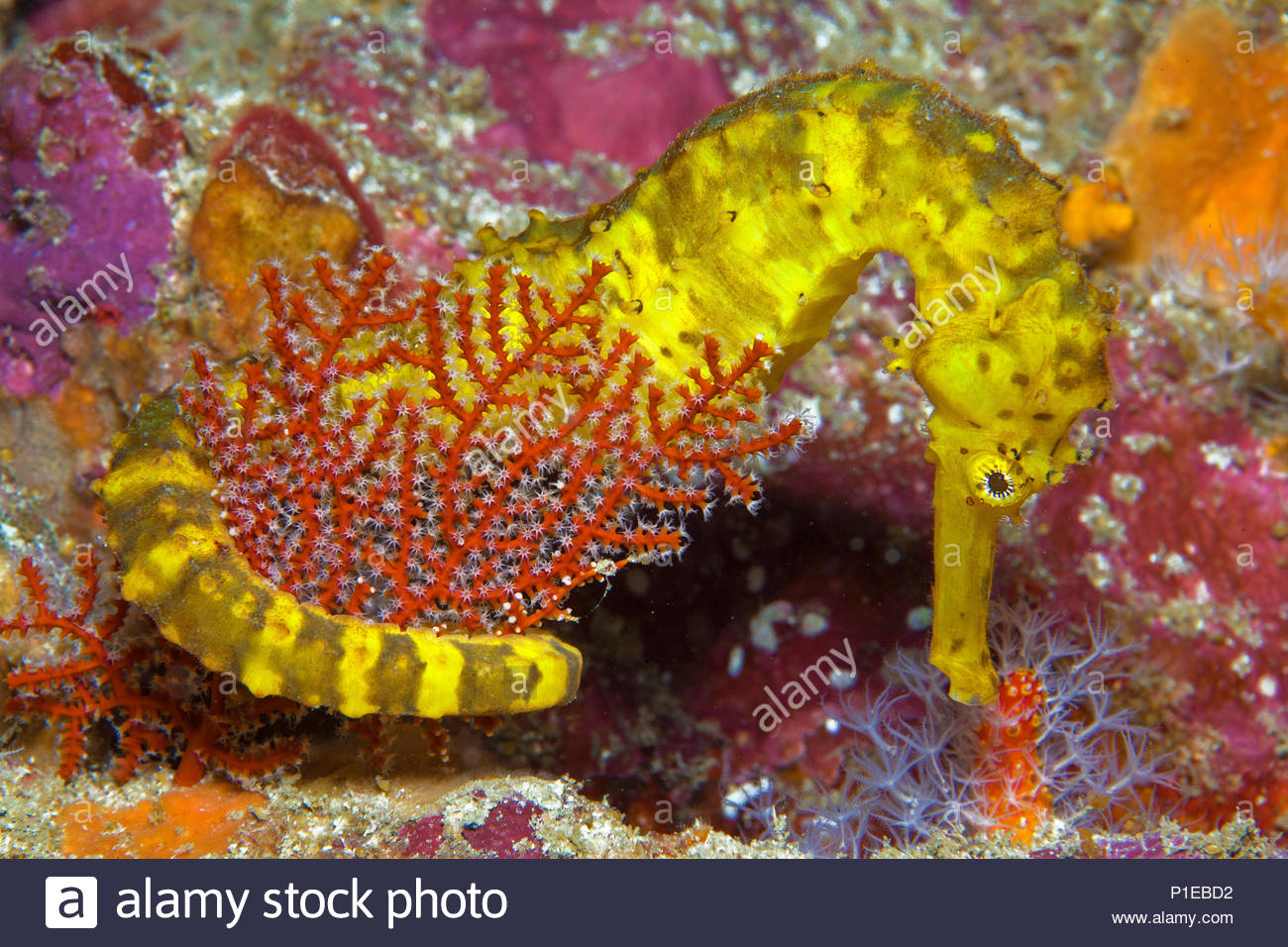 Tiger-tail seahorse (Hippocampus comes), Similan islands, Andaman Sea, Thailand - Stock Image