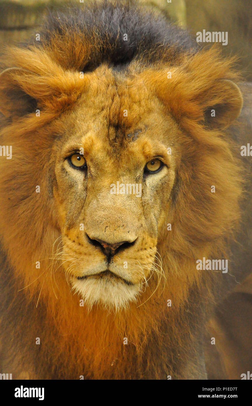 Male lion close up, lion eyes - Stock Image
