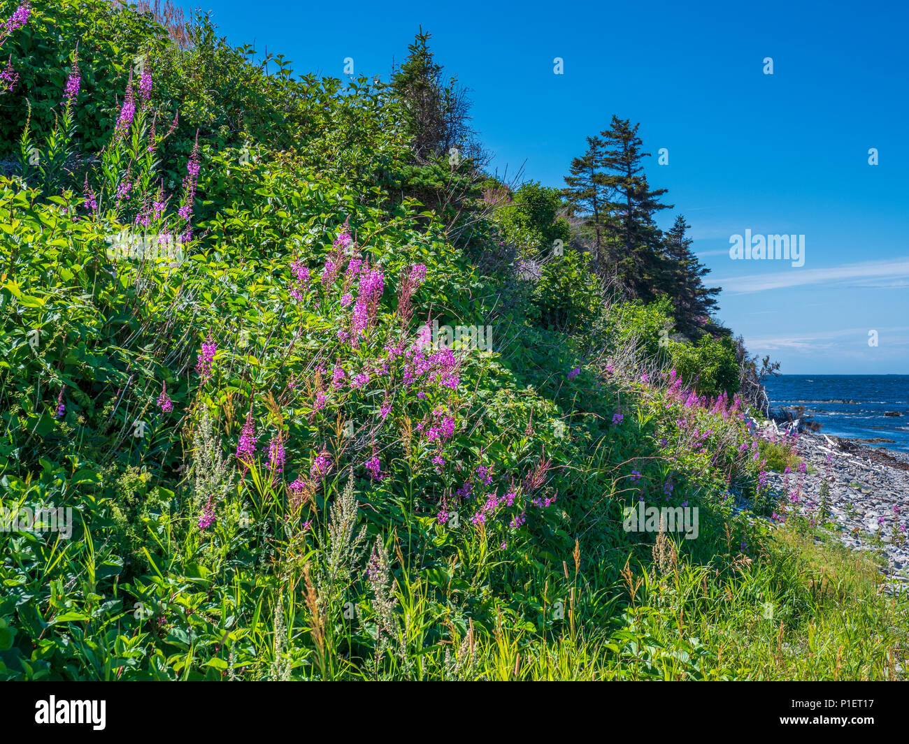 Fireweed blossoms along the roadside, Gaspe Peninsula, Quebec, Canada Stock Photo