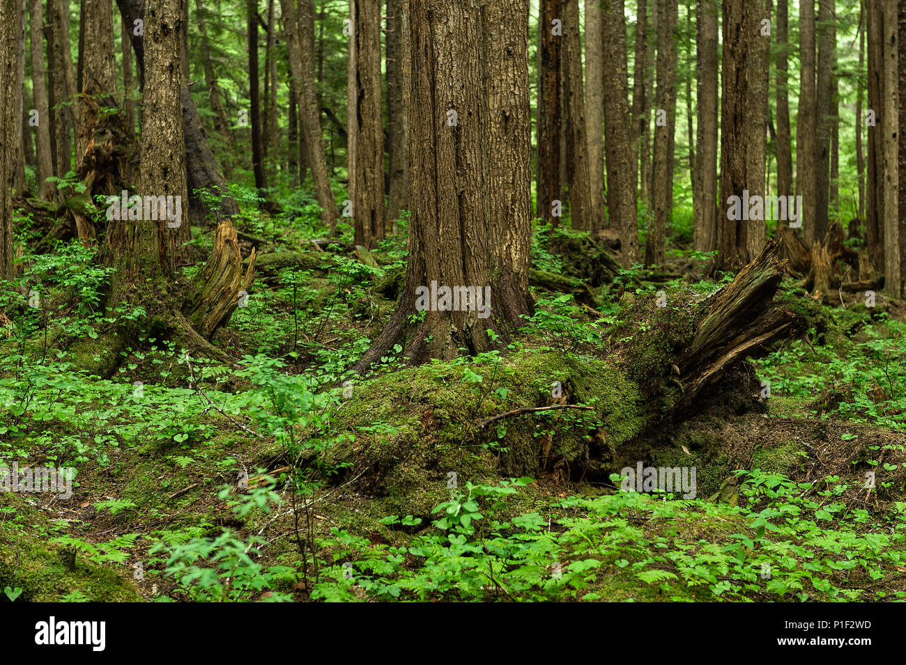 Verdant forest floor, Canary Point, Hoonah, Alaska, USA. - Stock Image