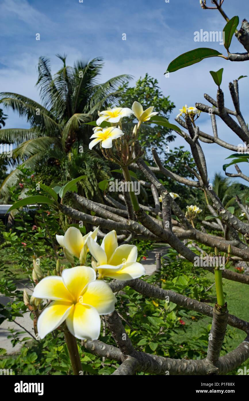 Frangipani in bloom at Aitutaki - Stock Image