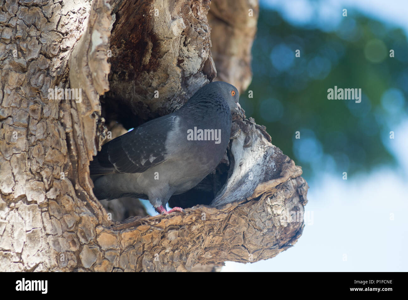 Resourceful pigeon utilises hollow in bough of tree for a nest on PAUL GAUGUIN CRUISE at Huahine Island - Stock Image