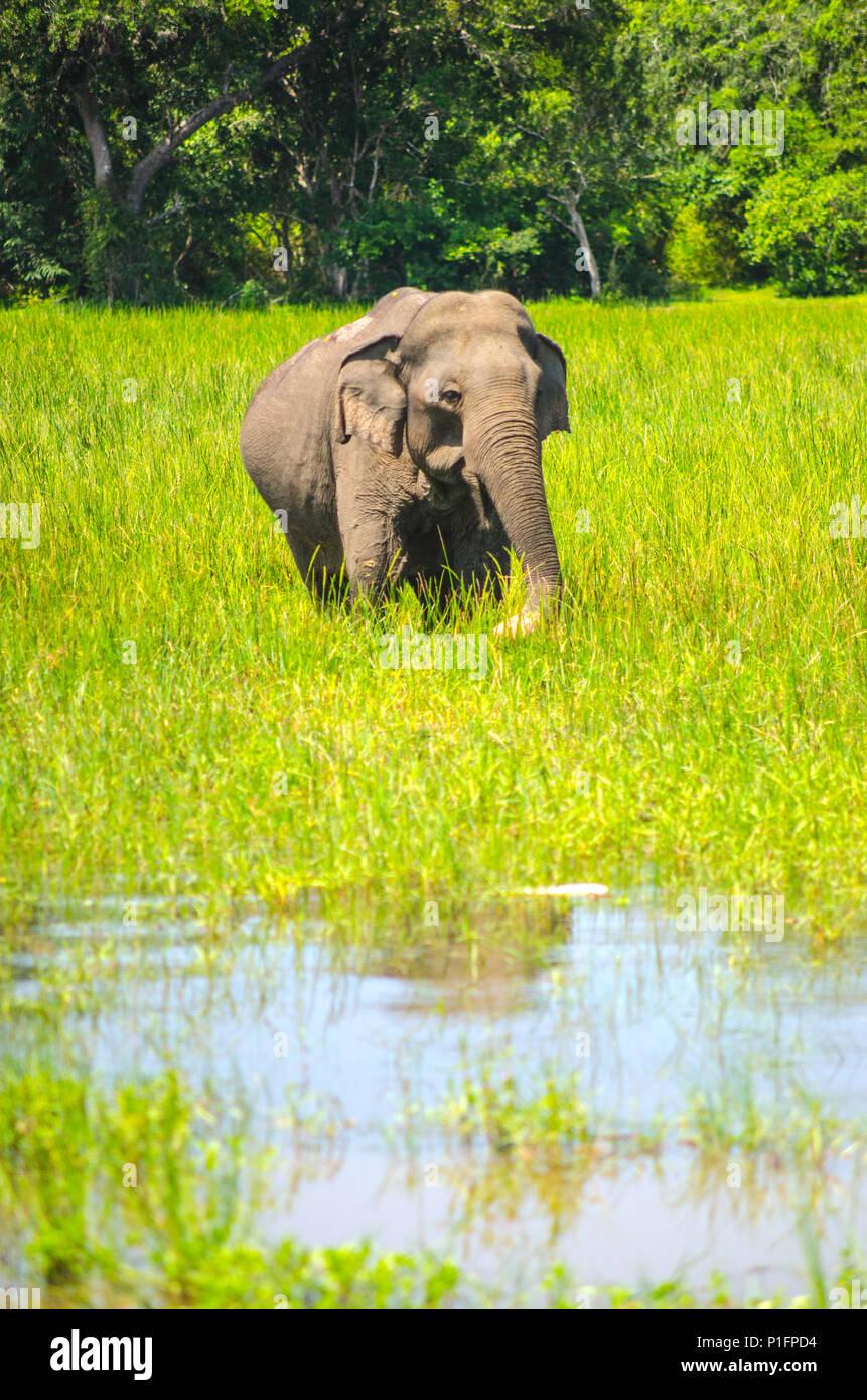 An elephant, Yala National Park, Sri Lanka - Stock Image
