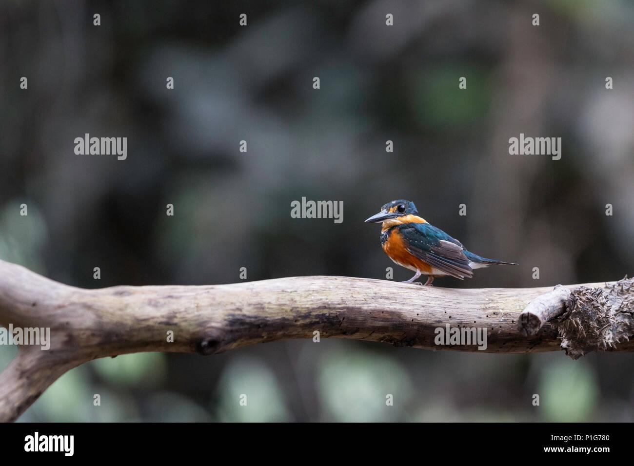 Adult American Pygmy Kingfisher, Chloroceryle aenea, Nauta Caño, Upper Amazon River Basin, Loreto, Peru - Stock Image