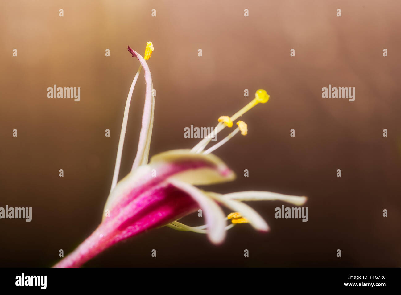 Regal Lily Stock Photos & Regal Lily Stock Images - Alamy