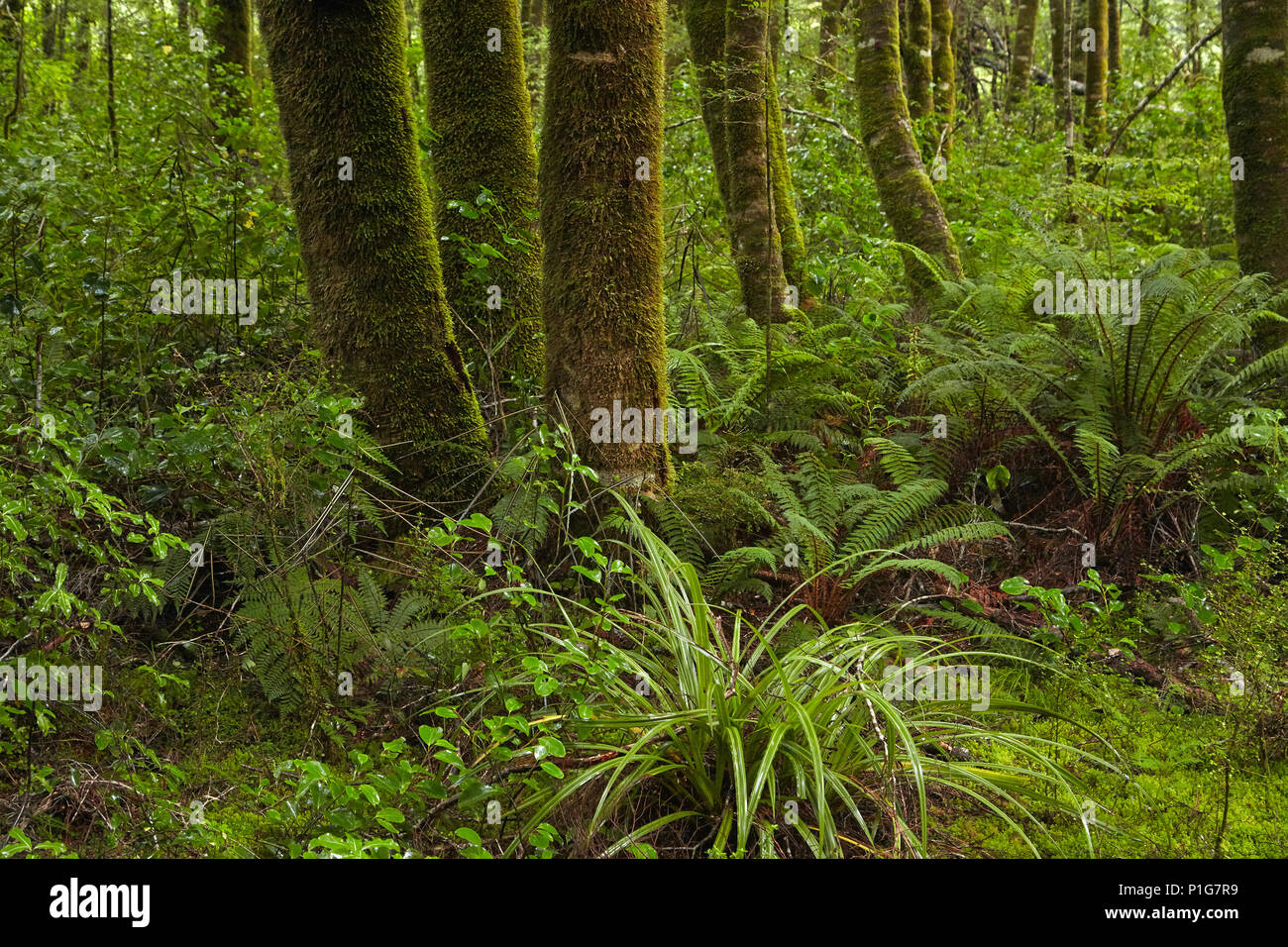 Native forest beside Blue Pools Track, Mount Aspiring National Park, Haast Pass, near Makarora, Otago, South Island, New Zealand - Stock Image