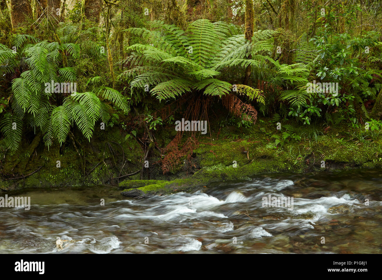 Muir Creek and native bush, Pleasant Flat, Haast Pass, Mt Aspiring National Park, West Coast, South Island, New Zealand - Stock Image