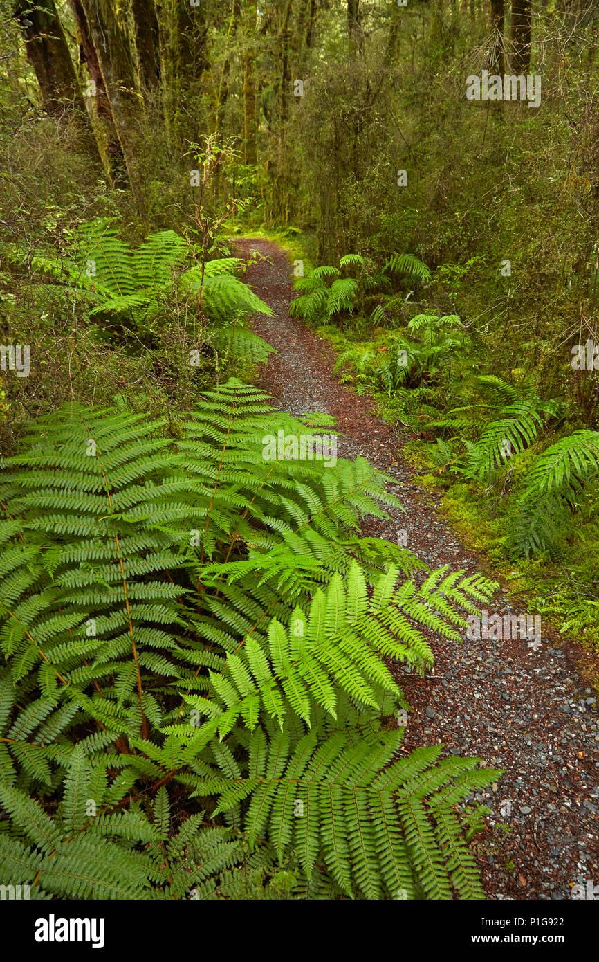 Bush walk, Pleasant Flat, Haast Pass, Mt Aspiring National Park, West Coast, South Island, New Zealand - Stock Image