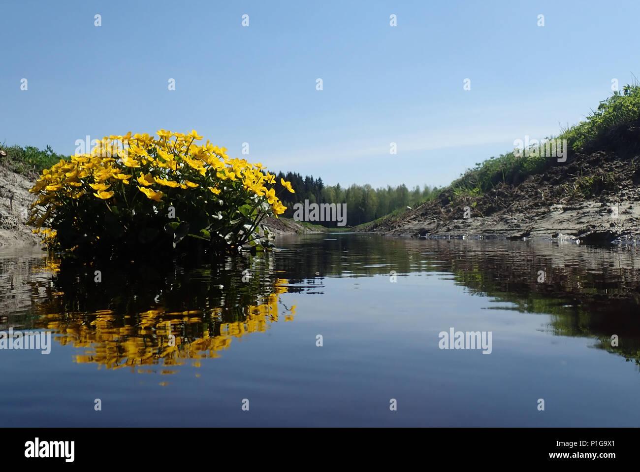 Caltha palustris and Vantaa river. Erkylä, Hausjärvi, Finland. - Stock Image