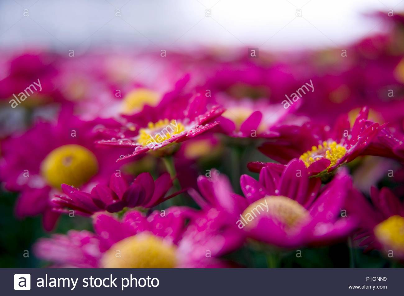 Red daisy flower bluetree flower raindrop stock photo 207507365 alamy red daisy flower bluetree flower raindrop izmirmasajfo