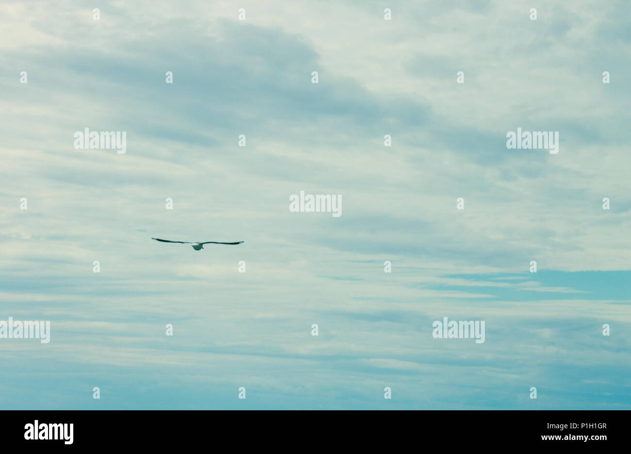 landscape image of A seagull soaring free in the air against a blue cloudy sky with copy space - Stock Image