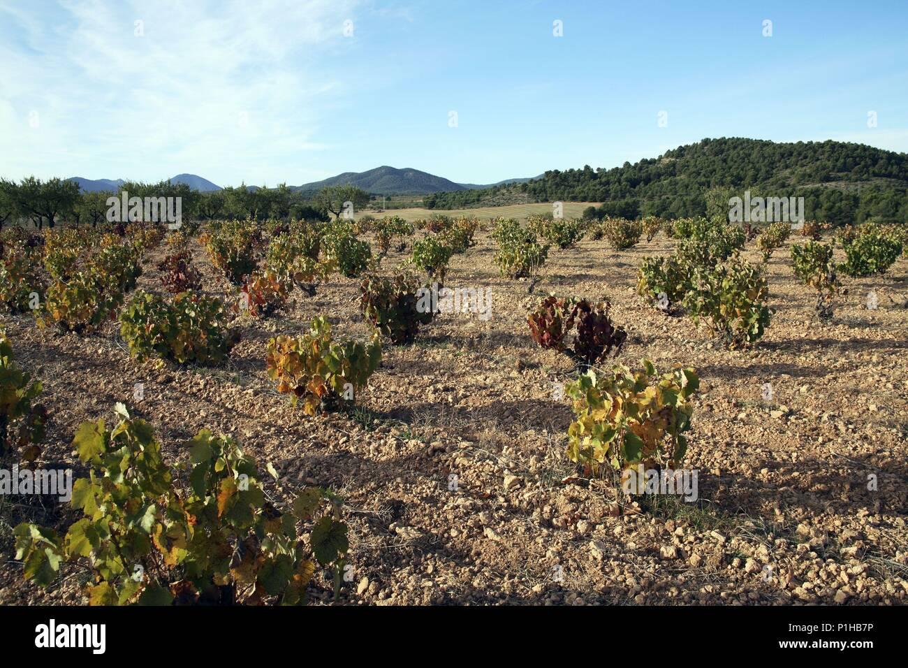 SPAIN - El Noroeste (district) - MURCIA. viñedo en municipio de Cehegín (D.O. Bullas). - Stock Image