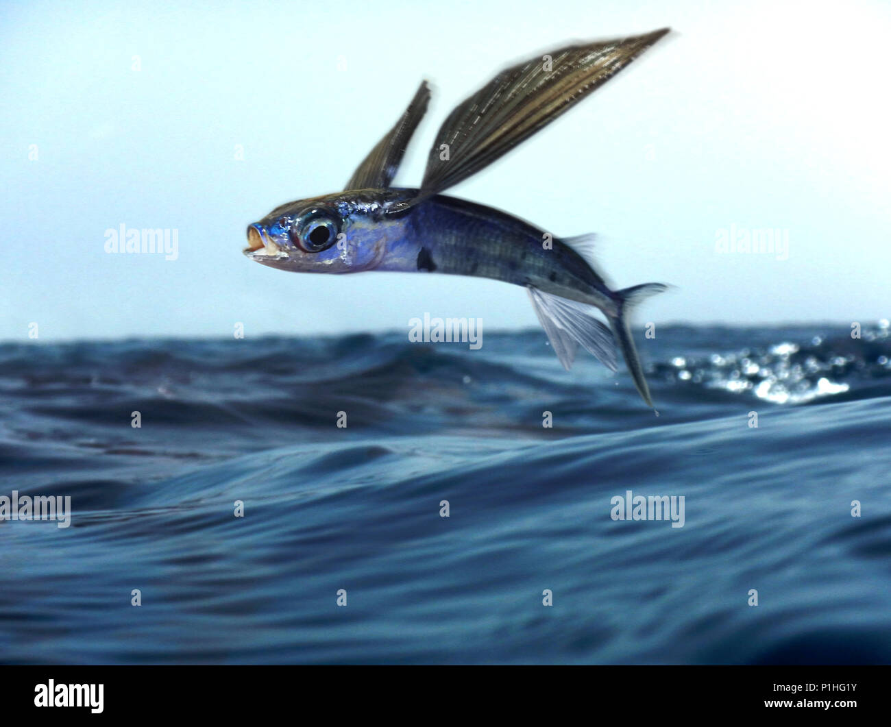 Oceanic two-wing flyingfish, Exocoetus obtusirostris, flying. Is an endemic species to the Atlantic Ocean and showed no significant differences from Stock Photo
