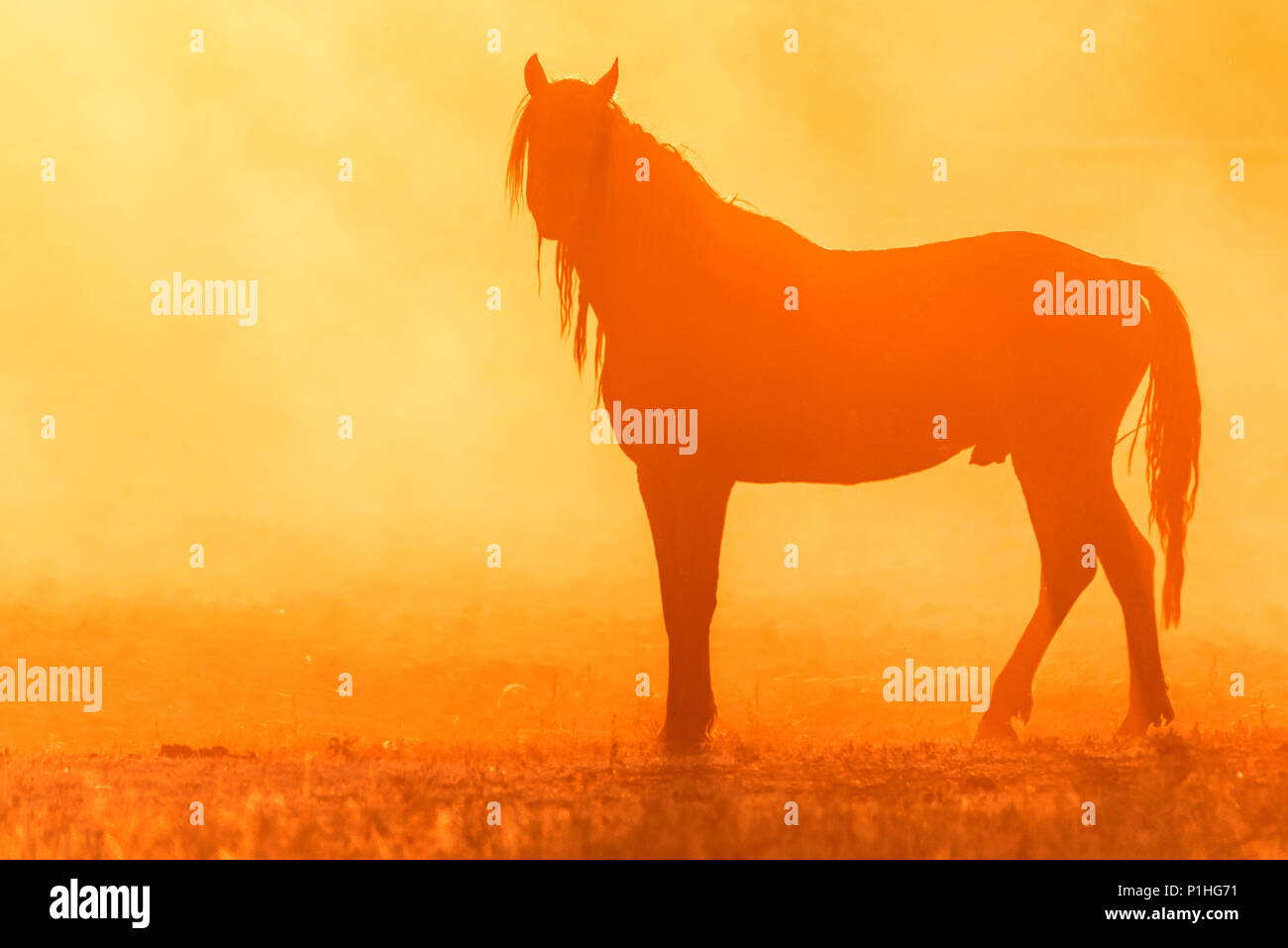 Wild horse grazes in the meadow at sunset - Stock Image