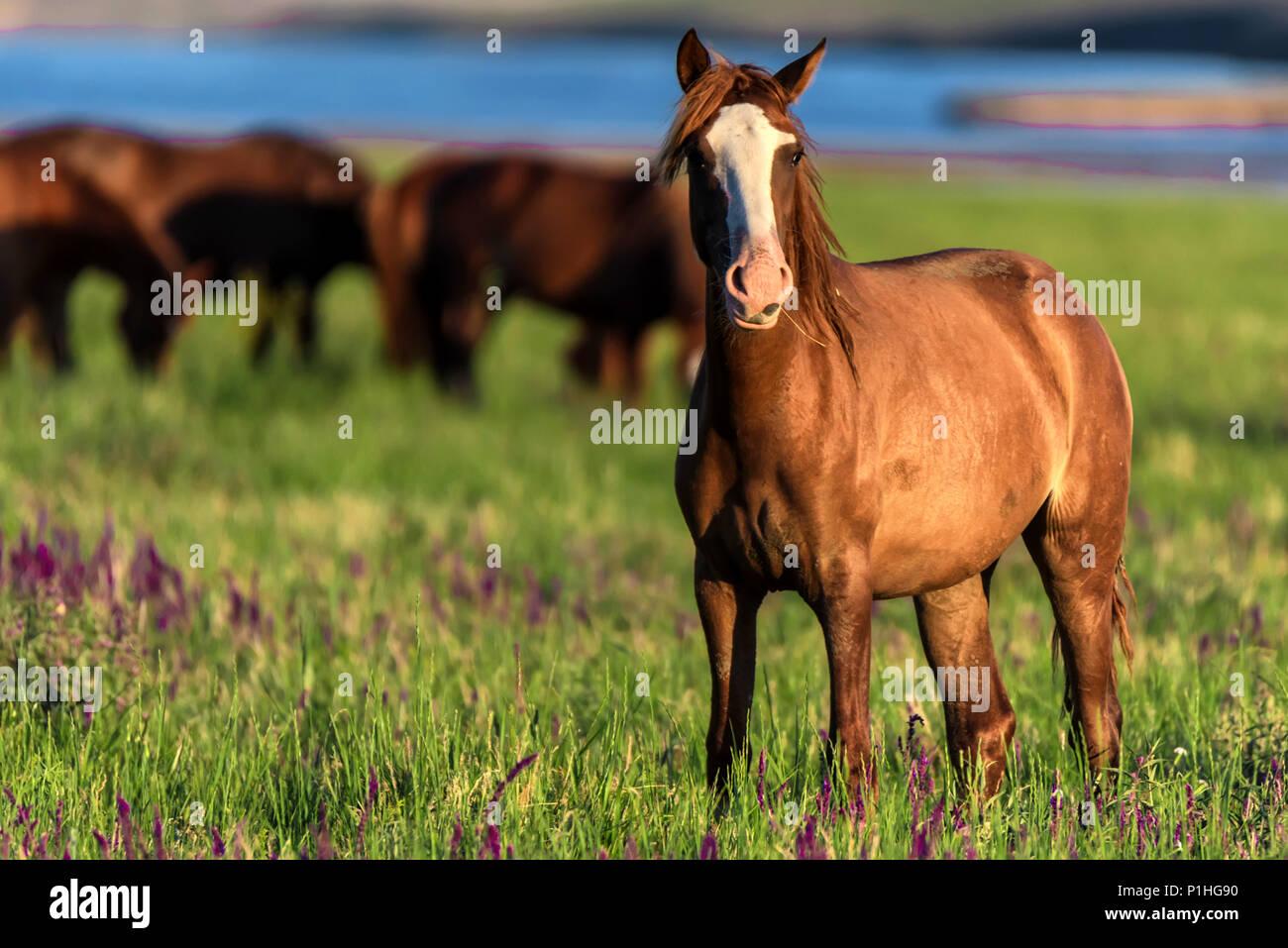 Wild horses graze in the sunlit meadow - Stock Image