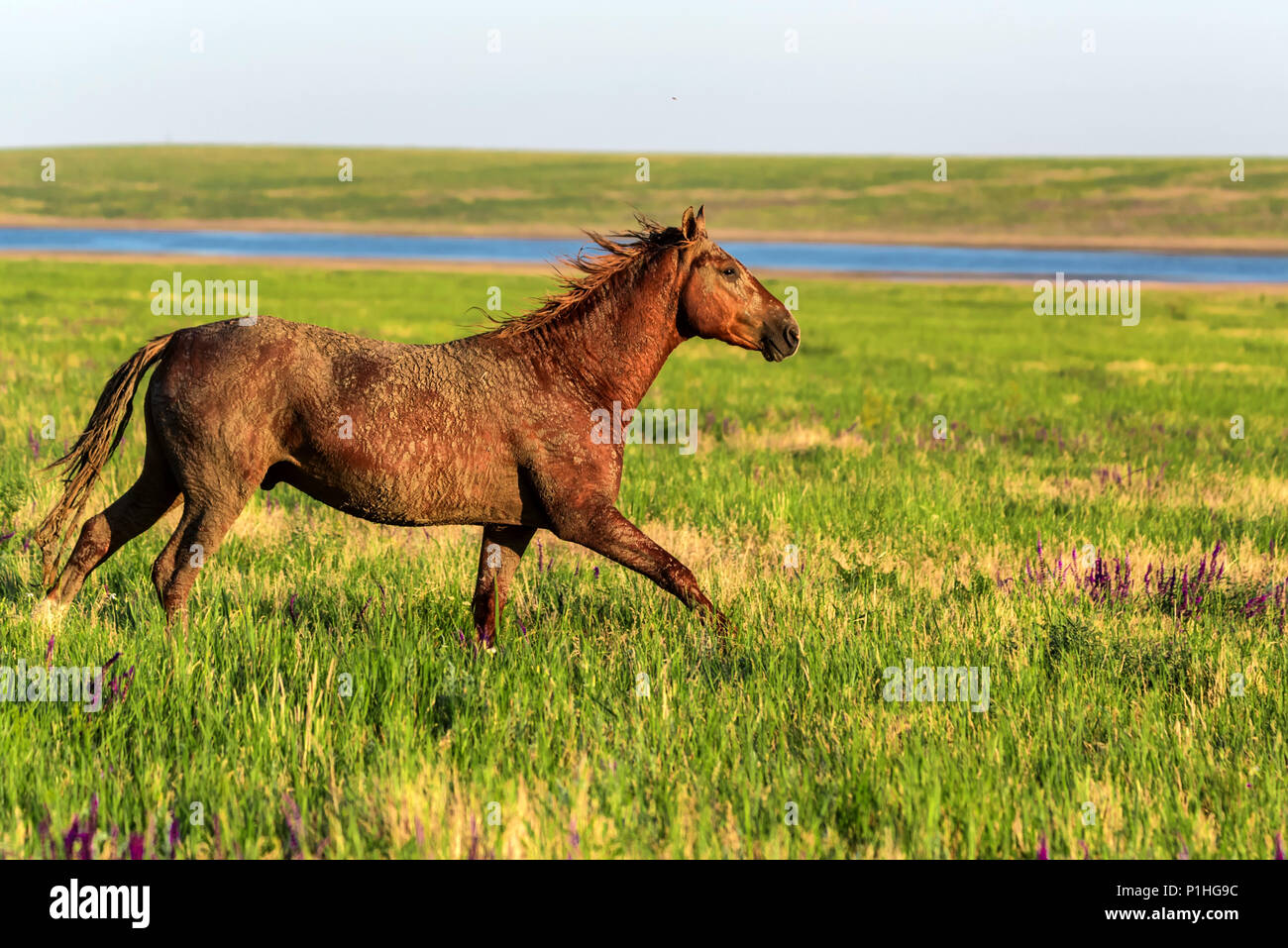 Wild horse runs in the sunlit meadow - Stock Image