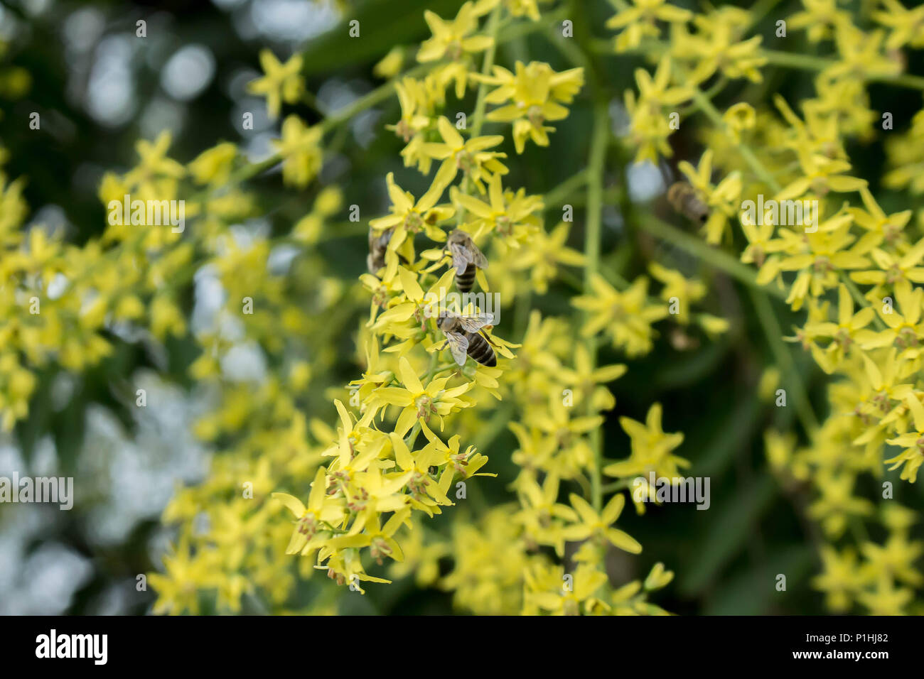 Yellow flower of Koelreuteria paniculata with bees polinating - Stock Image