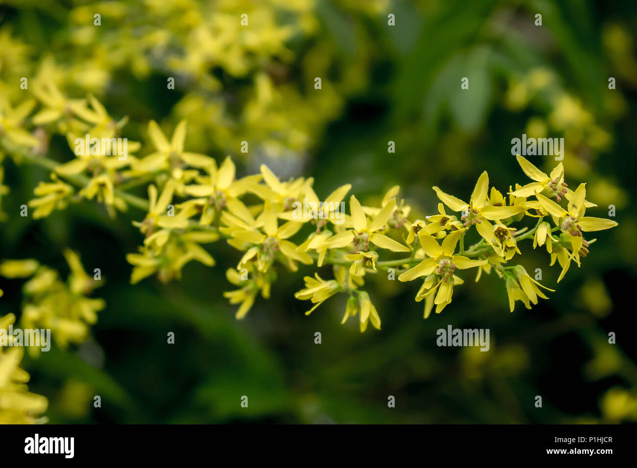 Yellow flowers of Kolreuteria paniculata - Stock Image