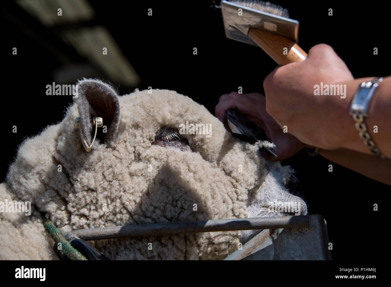 Shepherd trimming up sheep to show at the Royal Welsh Show - Stock Image
