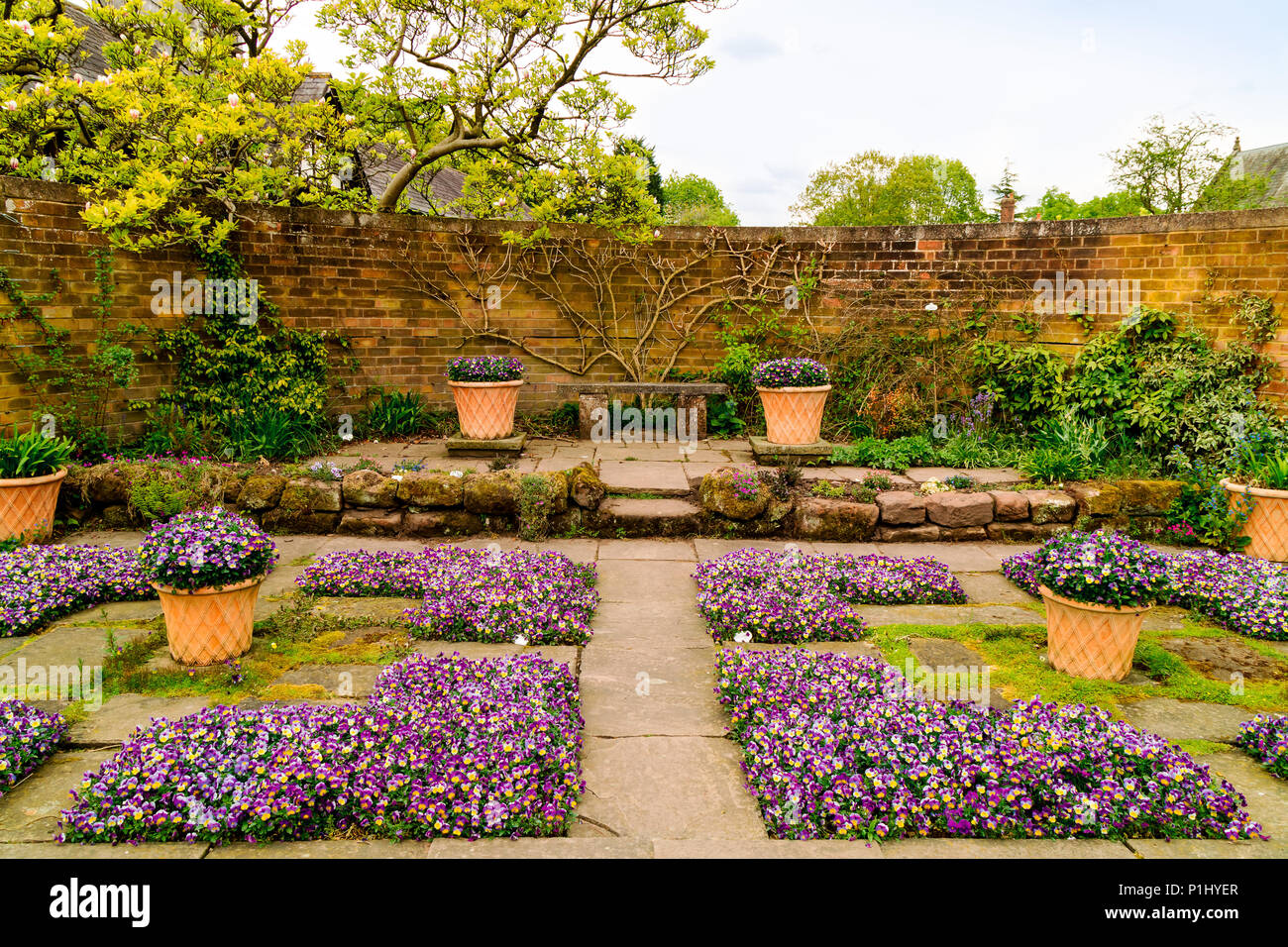 Flagged walled garden corner with purple violas on the ground and in terracotta pots. - Stock Image
