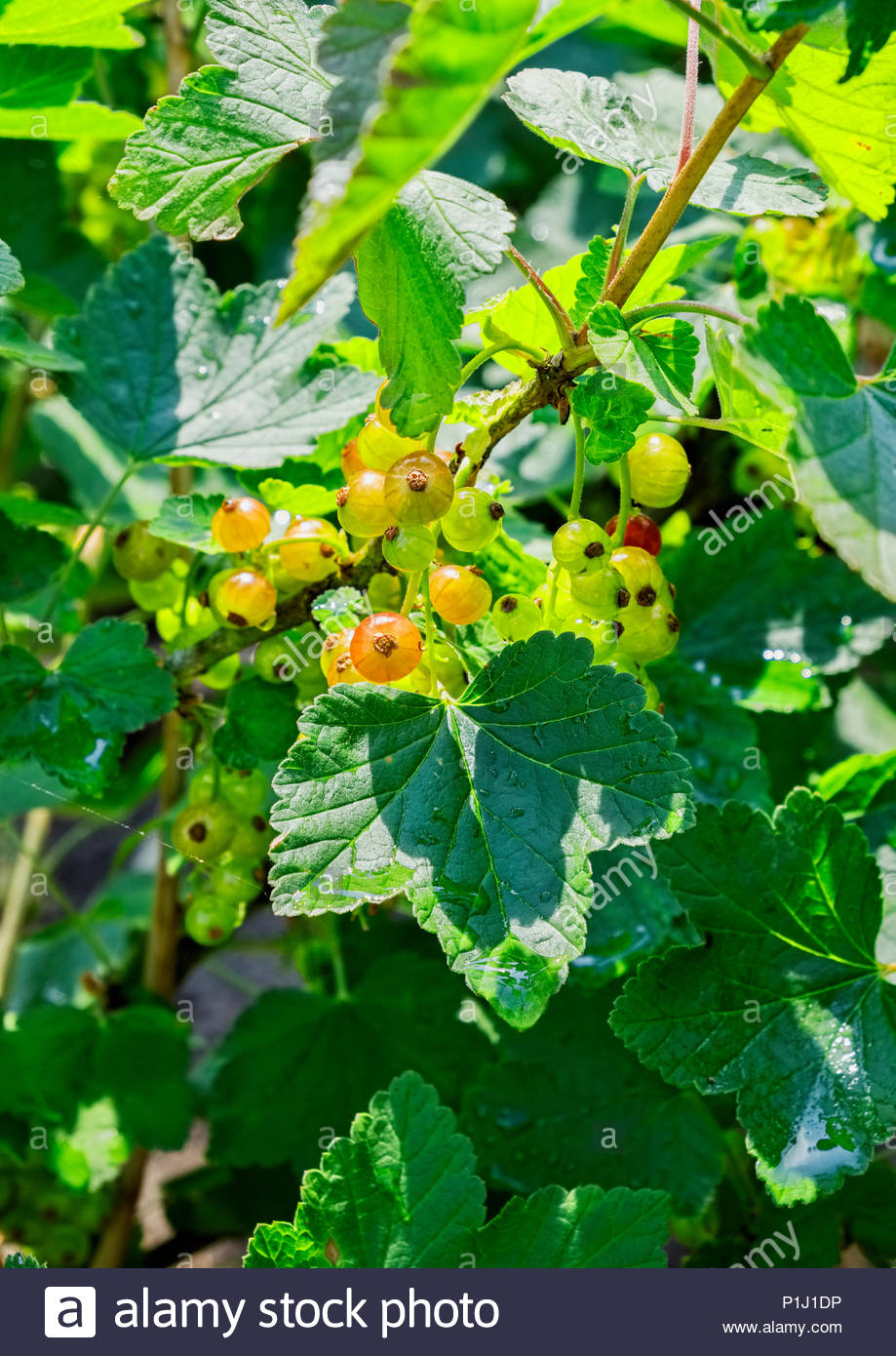 Johannisbeeren, AKA red currants, gooseberries, Ribes rubrum, are just beginning to ripen in early June. Stock Photo