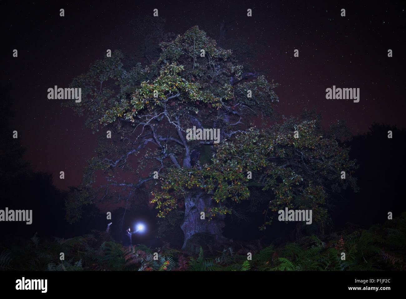 Mighty oak in Reinhardswald at night, Sabawald, Hesse, Germany - Stock Image