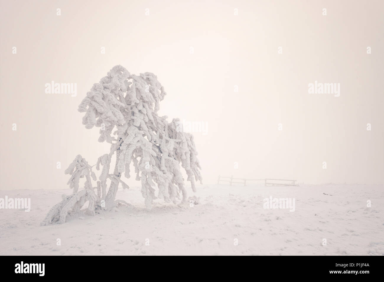 Hard rime on a tree surrounded by fog on the highest Rhoen peak named Wasserkuppe close to Gersfeld, district of Fulda, Hessia, Germany Stock Photo