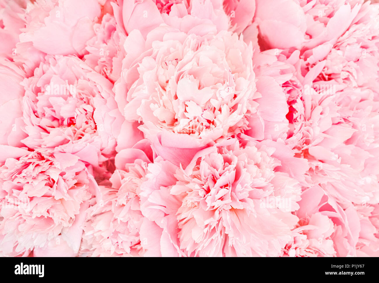 roses wall - Stock Image