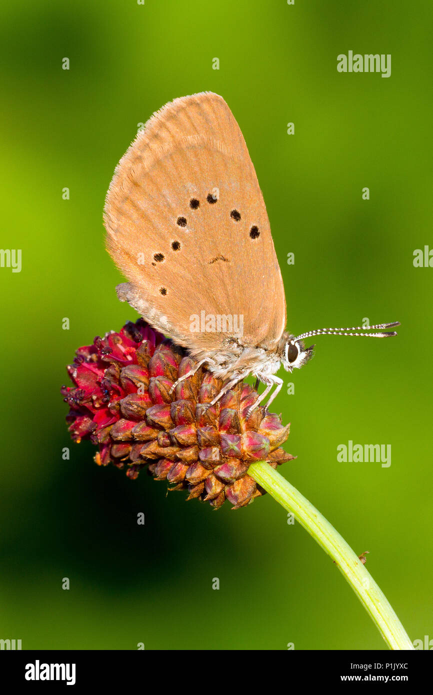 Black or dark Blue blaeu ling, ling, Order button ants blaeu butterflies (Lepidoptera), family Lycaenidae), Blues (subfamily Lycaeninae, pointed black - Stock Image