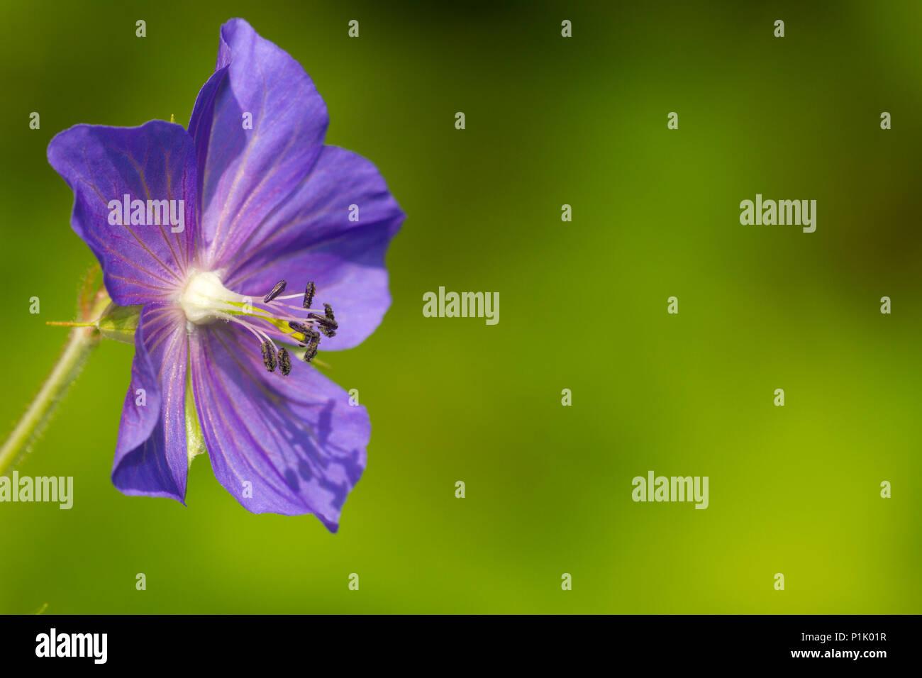 Meadow Cranesbill, Geranium pratense, ok, stork beak-like (gerani dimensional), family cranesbill family (geraniaceae),, Wiesen-Storchschnabel, Ordnun Stock Photo